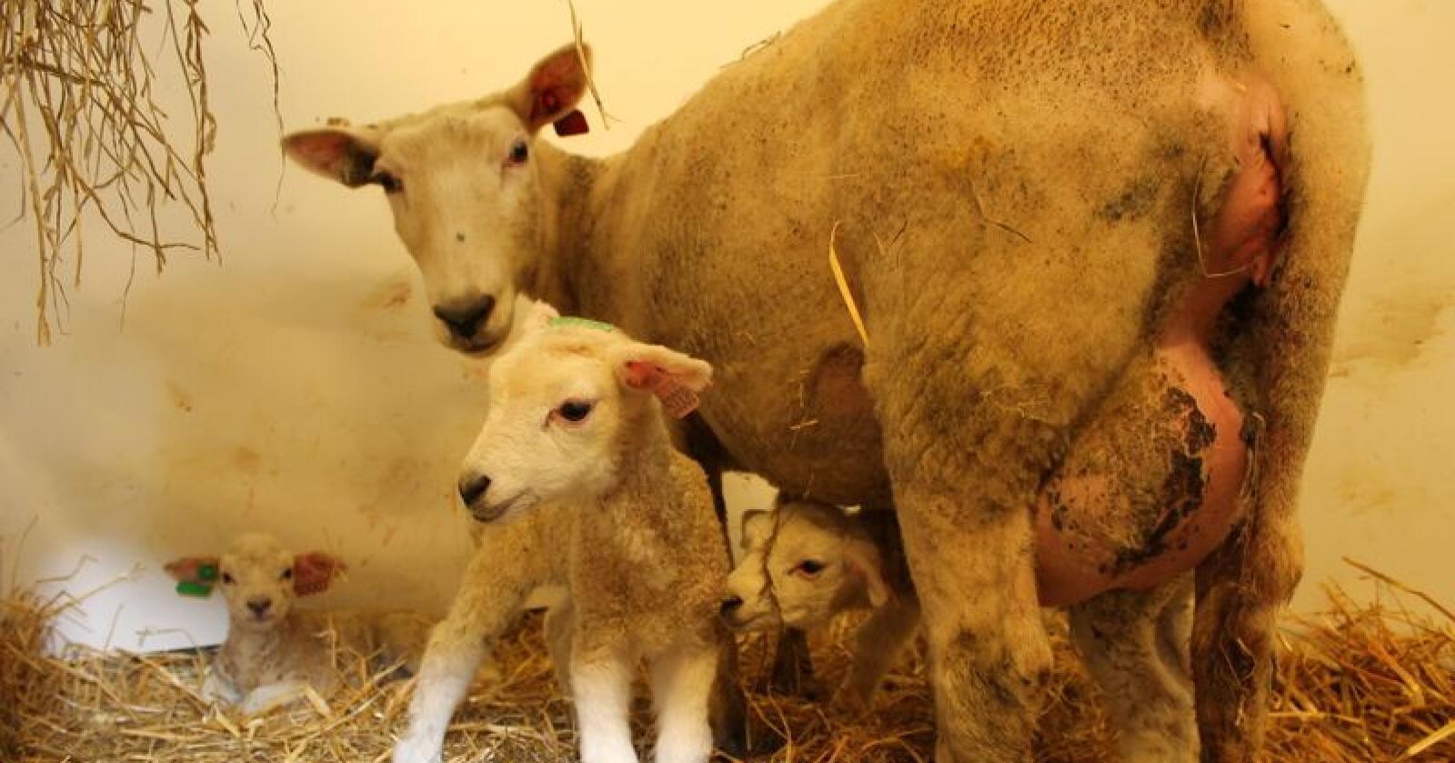 Lamming er ikke bare bare. Ta god vare på mor, lam og deg selv. Foto: Marit Glærum.