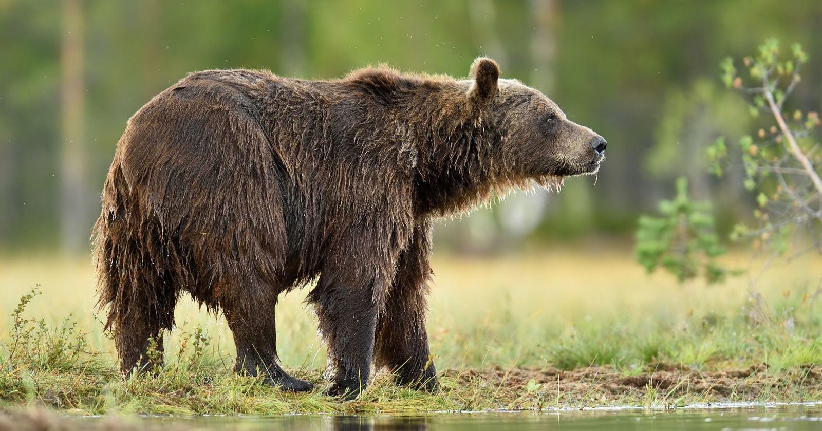 Illustrasjonsfoto: I forrige uke ble det på nytt gitt avslag om fellingstillatelse av bjørnebinna som har gjort stor skade i Bardu i Troms. Klima- og miljødepartementet viser til at bjørnebestanden ligger godt under bestandsmålet, og har derfor bestemt at bjørnen i stedet skal flyttes fra området. Foto: Mostphotos