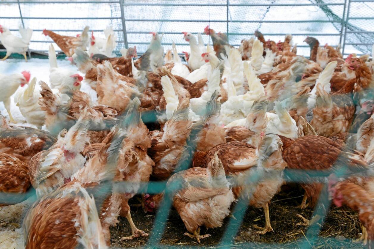 Uteliv: Frem til 1. juni var det portforbud for høner. Det var ikke nødvendig, mener Jenny Rolness. Foto: Mariann Tvete