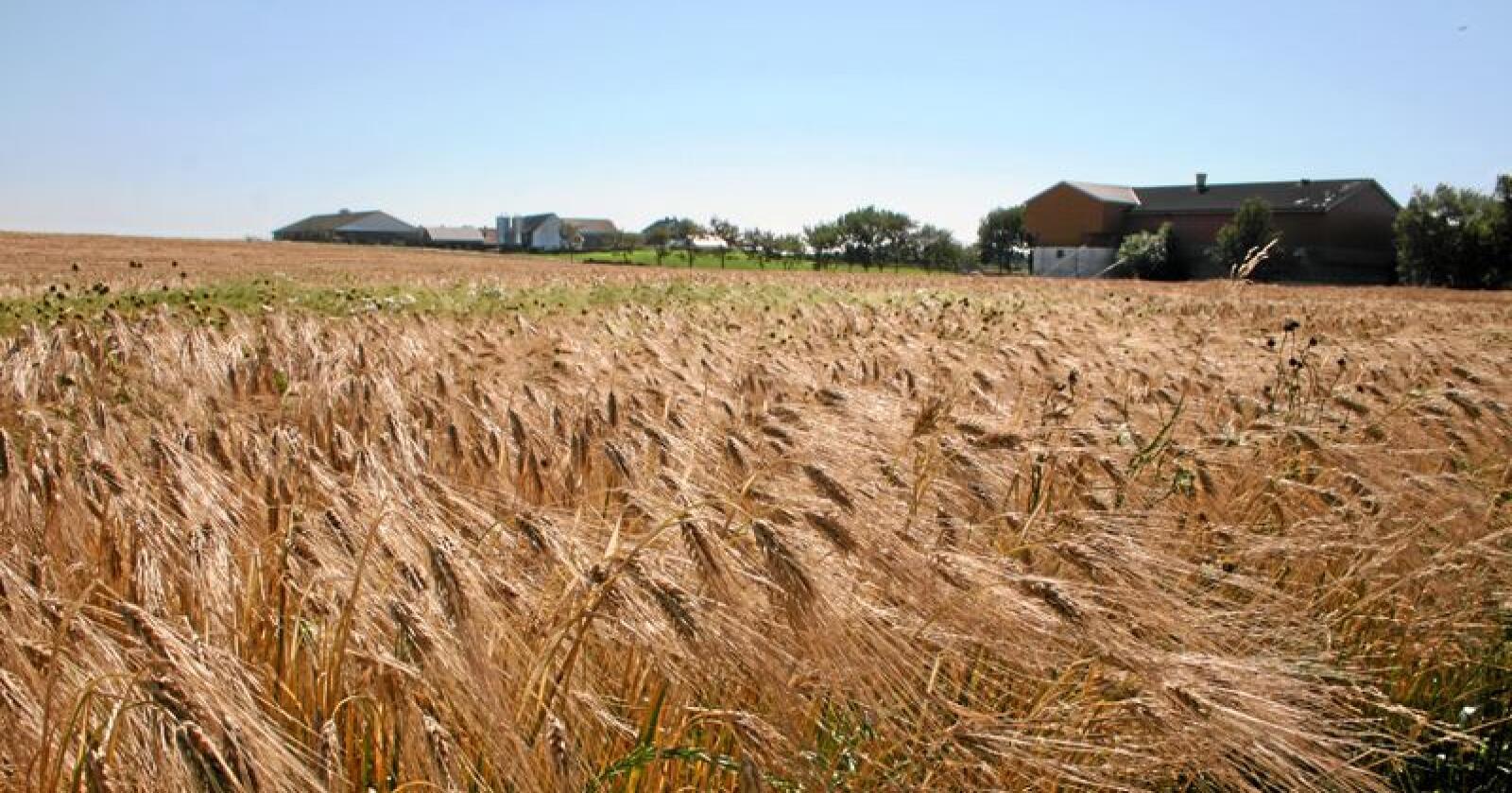 De siste 30 årene er det bare jordbruksoppgjørene i 2008 og 2013 som har lagt til grunn høyere kornprisøkninger enn i år, skriver Sigrid Hjørnegård. Foto: Bjarne Bekkeheien Aase