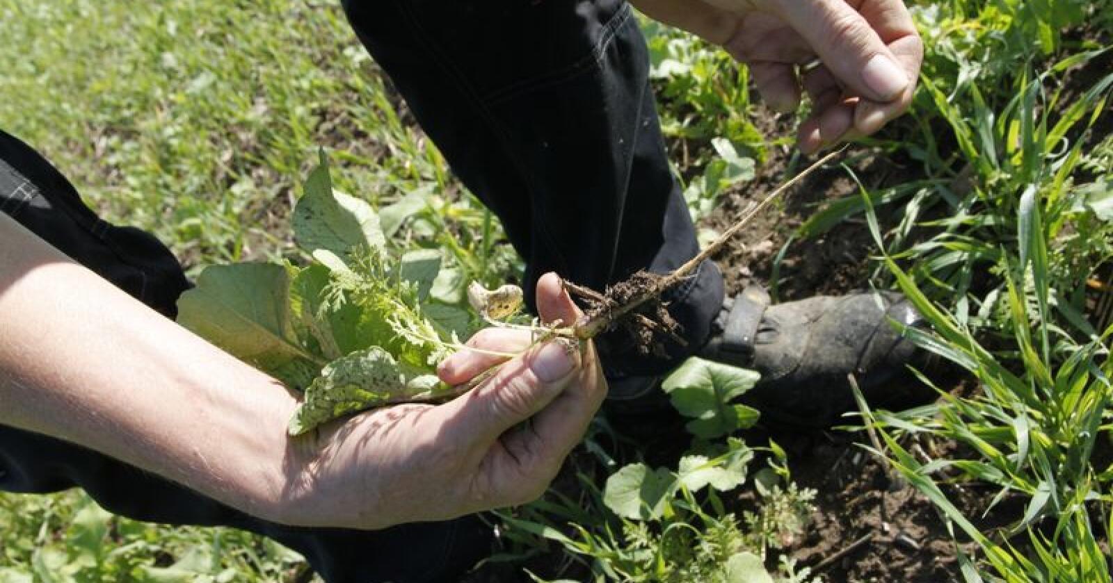 Rapporten fra forskerne ved Universitetet i Århus viser at praksisene som brukes i Conservation Agriculture fører til økt binding av karbon i jorda.
