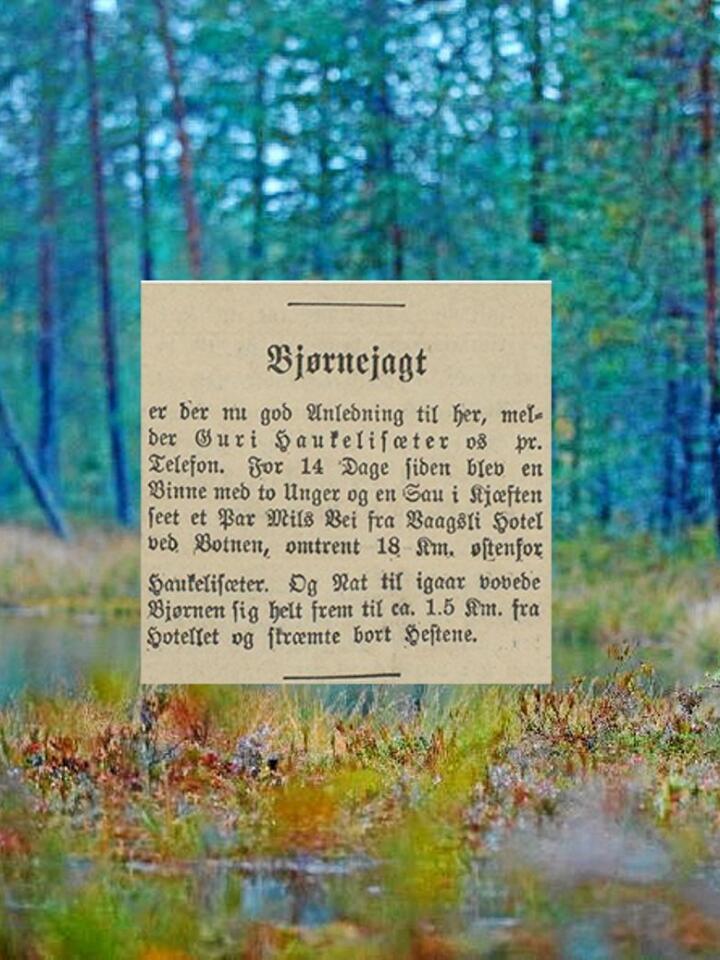 I 1905 kunne du oppleve bjørnejakt dersom du valde å leggje ferien din til Vågsli hotell i Vinje. Annonsen stod på trykk i Morgenbladet i august 1905. Foto: Morgenbladet/Ondrej Prosicky/Mostphotos