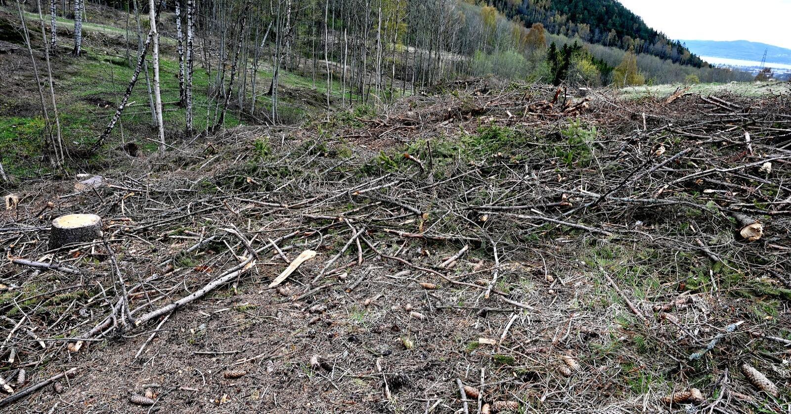 Viken skog meiner feilregistrering av trua artar skaper trøbbel for hogsten. Foto. Mariann Tvete