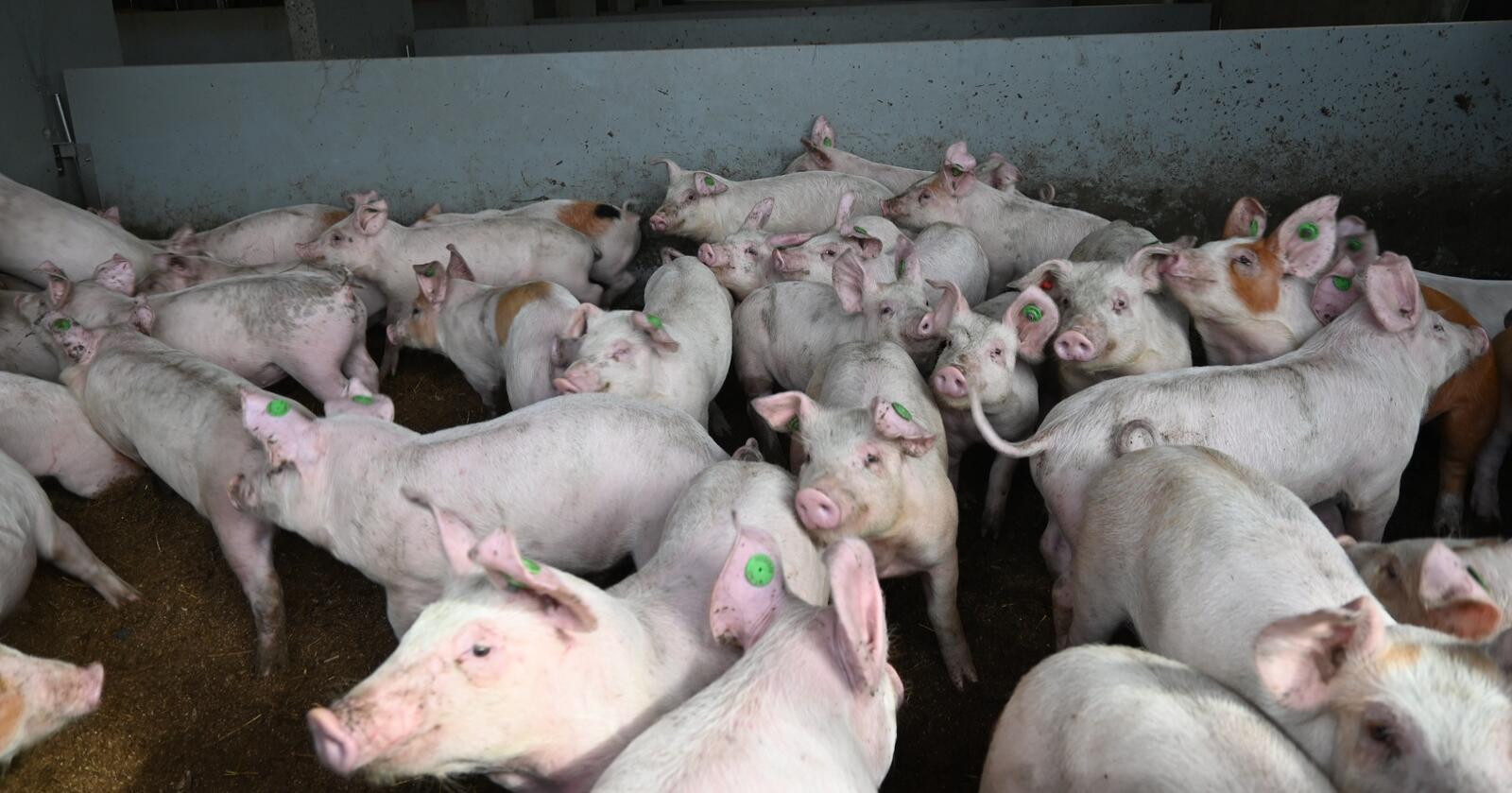 Svinekjøtt: Nortura, Norsvin, Bondelaget og Småbrukarlaget mener det er Omsetningsrådet som bør fastsette grensa for hvor mye svinekjøtt som kan fryses inn – ikke Stortinget. (Foto: Marit Glærum)