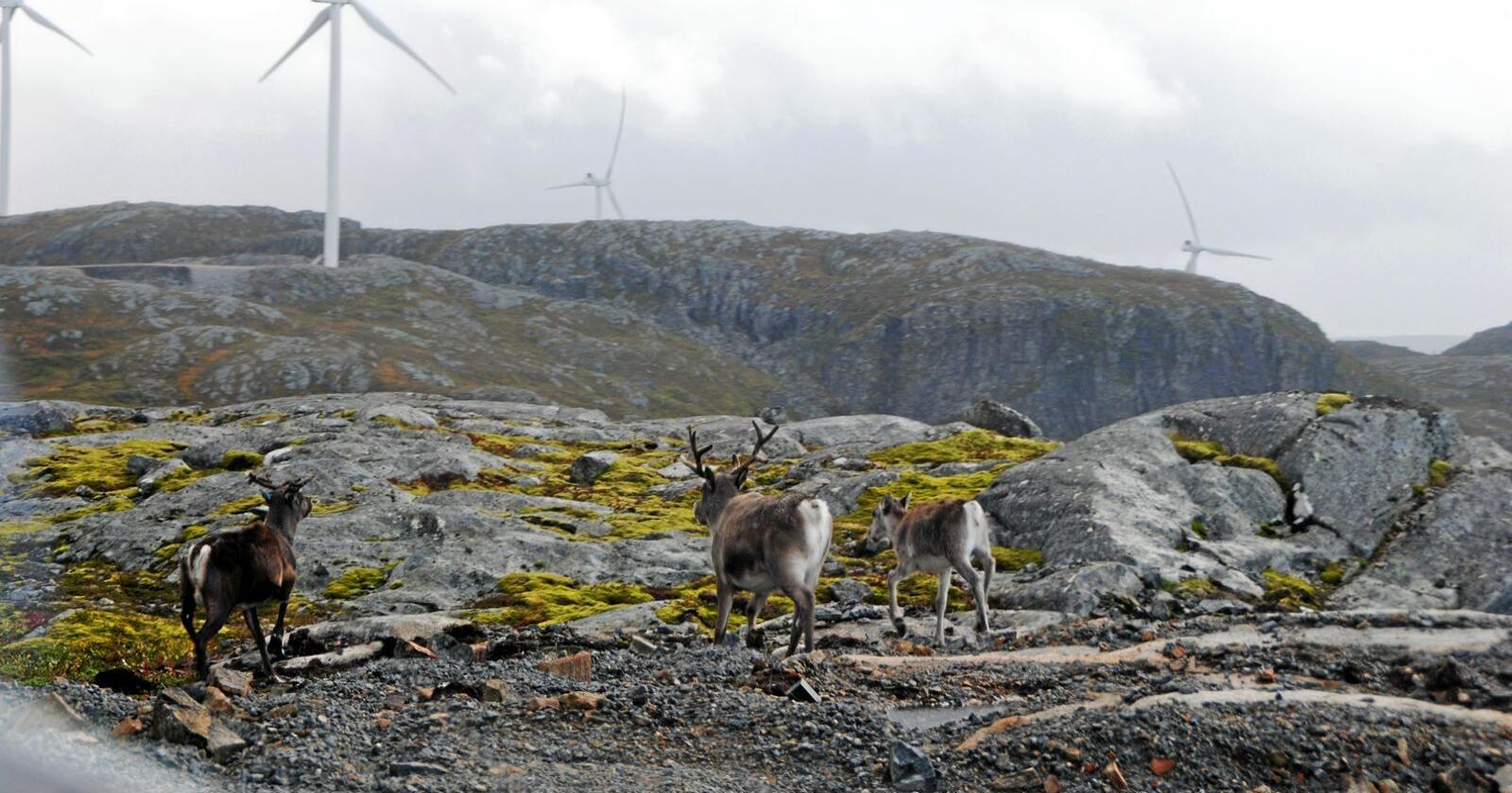 Vindkraftutbyggingen på Storheia på Fosen var i strid med urfolksrettigheter slår Høyesterett fast. Foto: Lars Bilit Hagen