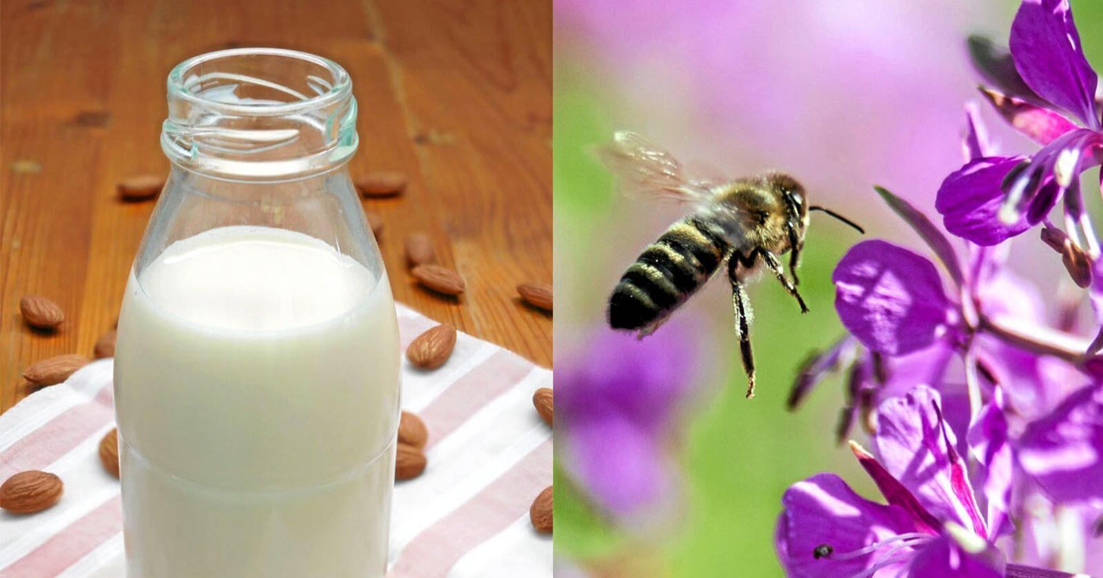 Mandelmjølk har blitt veldig populært dei siste åra. Det er ikkje nødvendigvis så gode nyheiter for honningbier. Foto: Mostphotos og Paul Kleiven / NTB scanpix