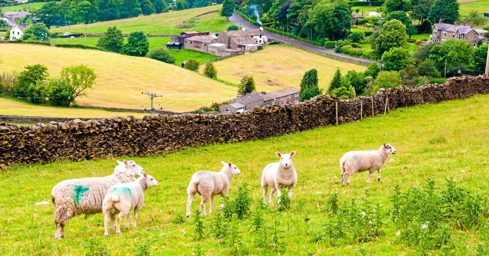 Britiske bønder får milliardstøtte av de nasjonale myndighetene når de melder seg ut av EU. Foto: Colourbox