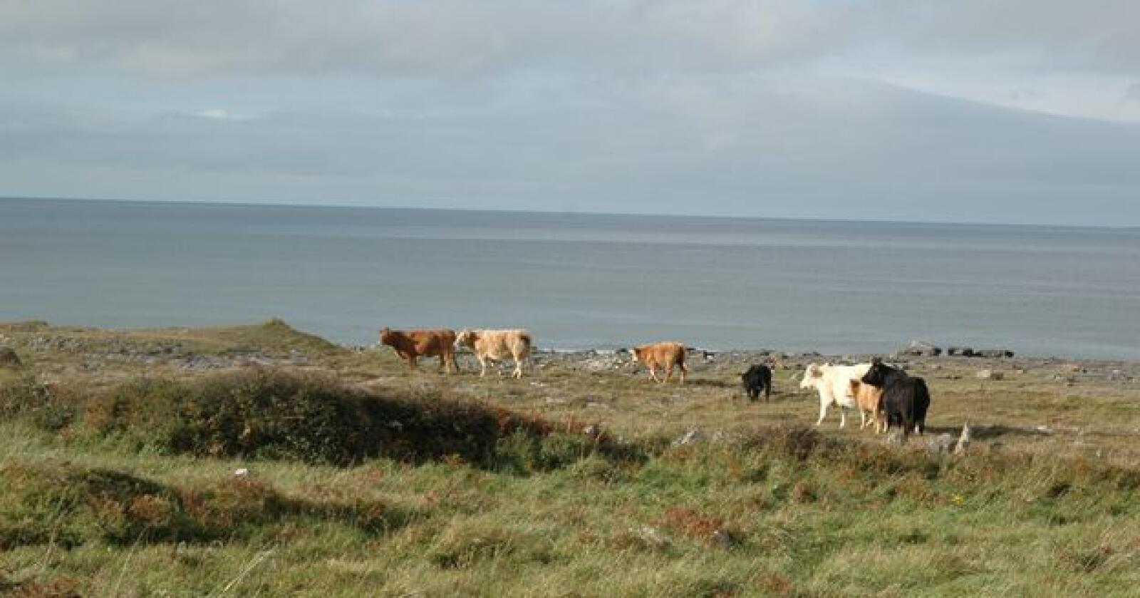 Kostbart: Irske melkebønder og meierier kan tape stort på koronakrisa. (Arkivfoto)