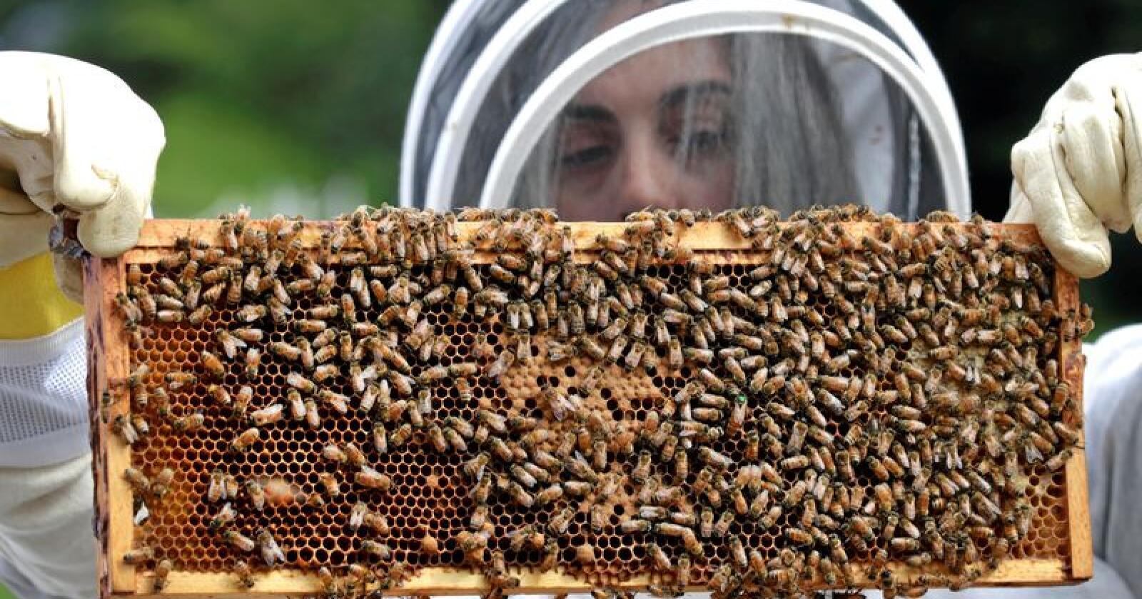 Honningproduksjonen faller i Europa, der birøktere i mange land har opplevd et svart år. Illustrasjonsfoto: AP / NTB scanpix