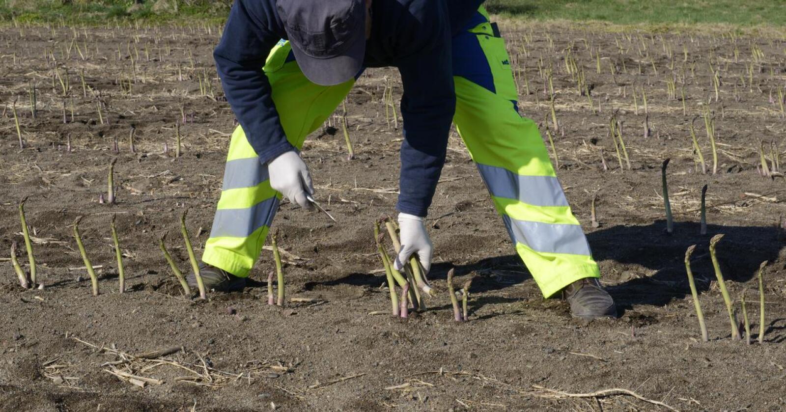 Høsting av grønn asparges. Illustrasjonsfoto
