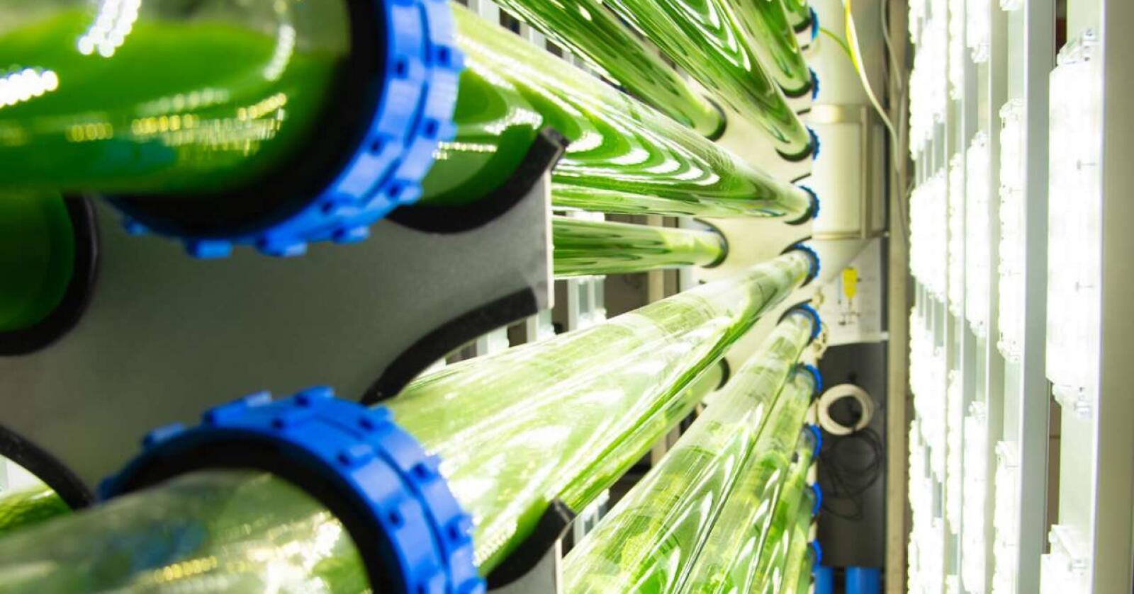 Snart kan norskdyrkede mikroalger erstatte soyaimport, skal vi tro Norsk Kylling. Foto: Erling Fløistad/NIBIO