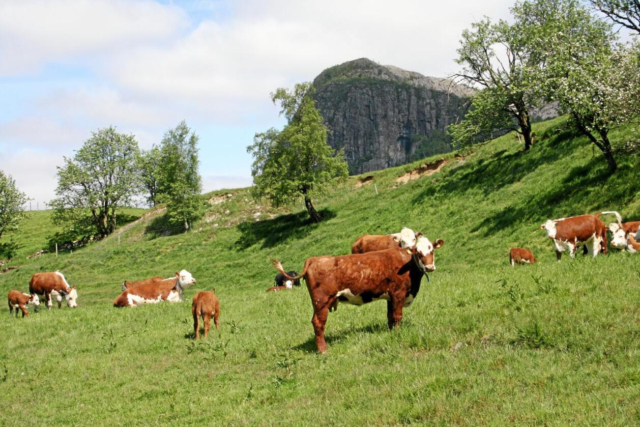 Kjøtt og melk: Norsk husdyrhold må ikke avvikles, skriver innsenderen. Foto: Bjarne Bekkeheien Aase