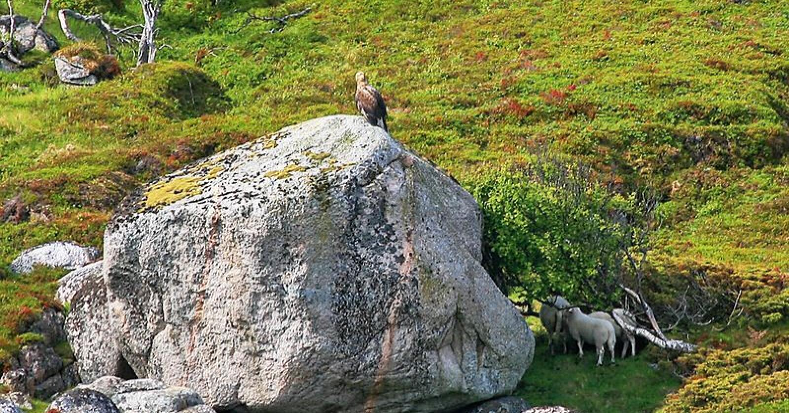 Bjørn Tore Søfting har mistet mange lam på beite til ørna de siste årene. Han sier det er vanskelig å dokumentere når ørna ofte spiser opp alt i løpet av kort tid.