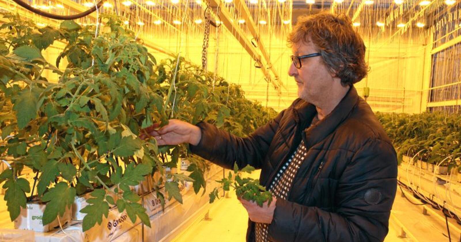 Klimavenleg: Tomatar dyrka i norske veksthus med lys er meir klimavenlege enn tomatar importert frå Nederland eller Spania, ifølgje forskar i Norsk institutt for bioøkonomi (Nibio), Michel Verheul. Her frå dyrking av tomatar i det nye veksthuset til Nibio i Klepp på Jæren. Foto: Bjarne Bekkeheien Aase