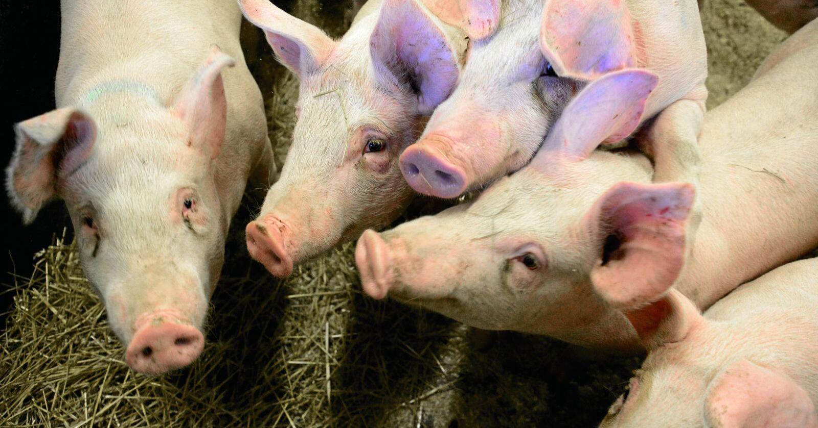 Flere griser i Sverige er avlivet etter et salmonellautbrudd. Illustrasjonsfoto: Siri Juell Rasmussen