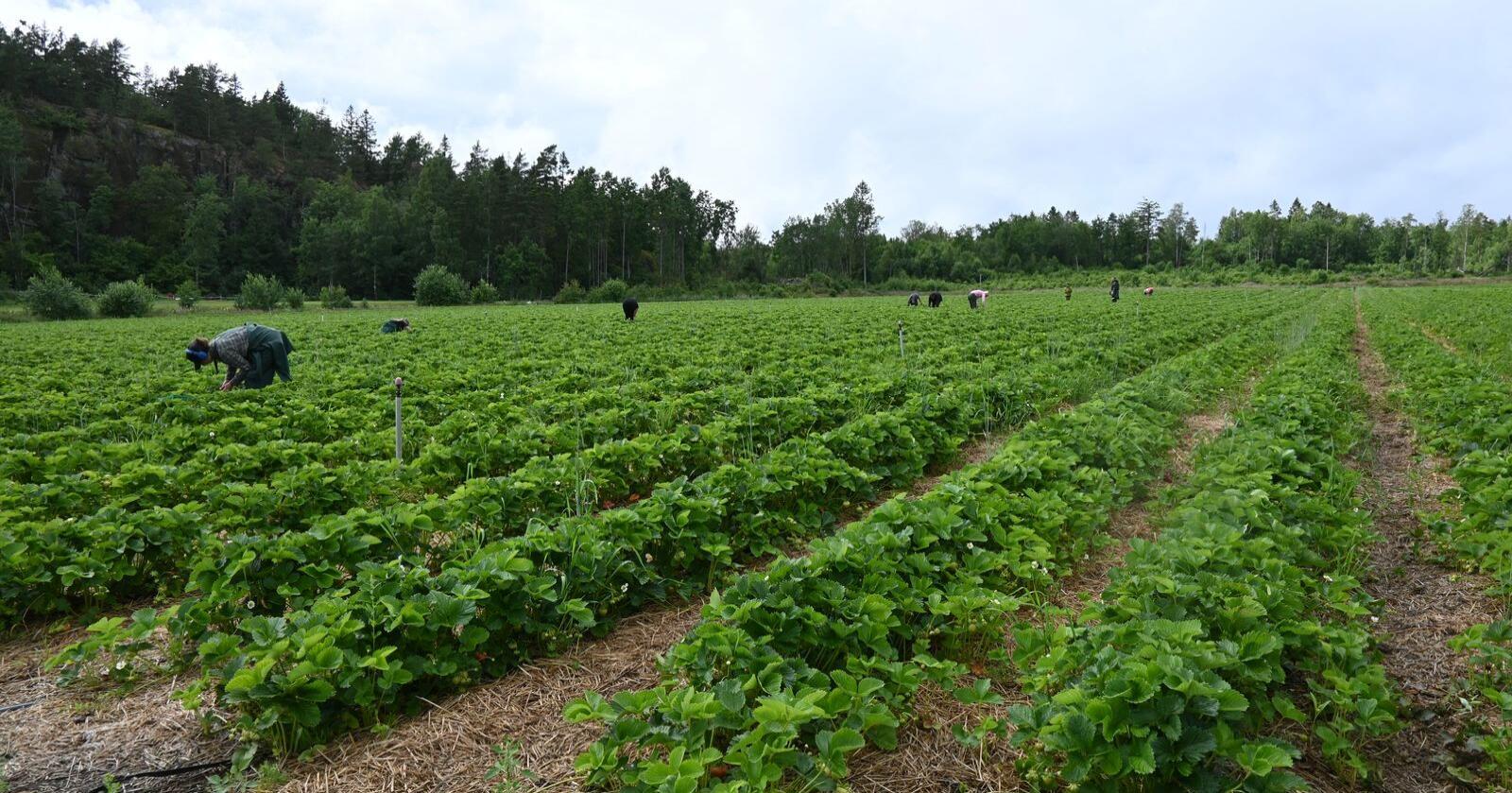 Nye lettelsene gjør det enklere å få inn sesongarbeidskraft til grøntsektoren til siste del av sesongen. Arkivfoto: Bondebladet