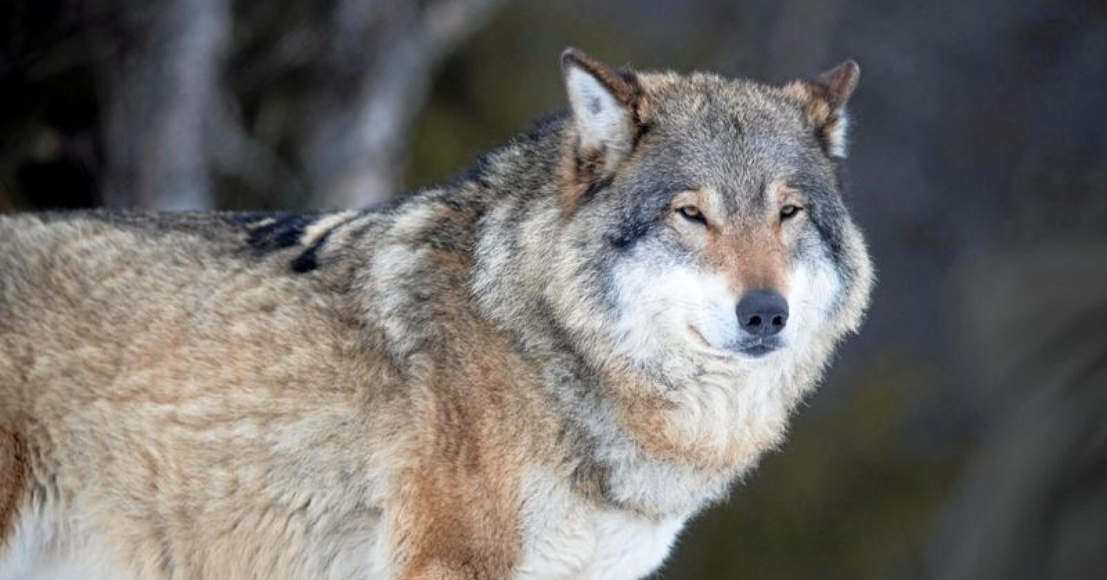 Umulig målsetting: Ulven kan ikke utryddes i Norge, skriver kronikkforfatterne. Foto: Heiko Junge/NTB scanpix