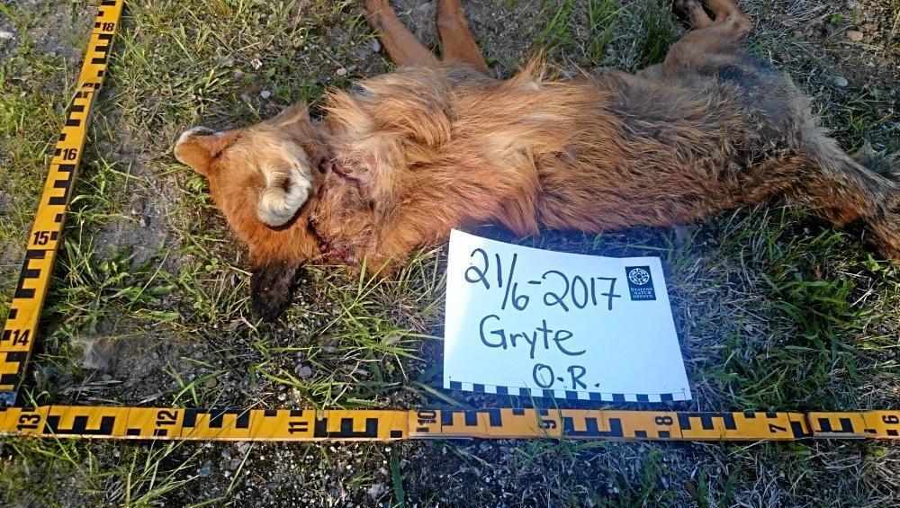 SNO har tatt dette bildet av revend e mener er tatt av ulv. Foto: Statens Naturoppsyn