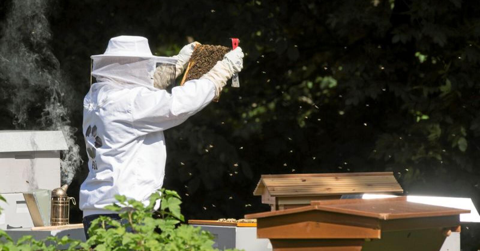 Neste uke åpner gartneriområdet på Bygdøy i Oslo for publikum. Der er det både frukthager, veksthus og honningproduksjon. Her en birøkter i aksjon ved gartneriet. Foto: Berit Roald / NTB scanpix
