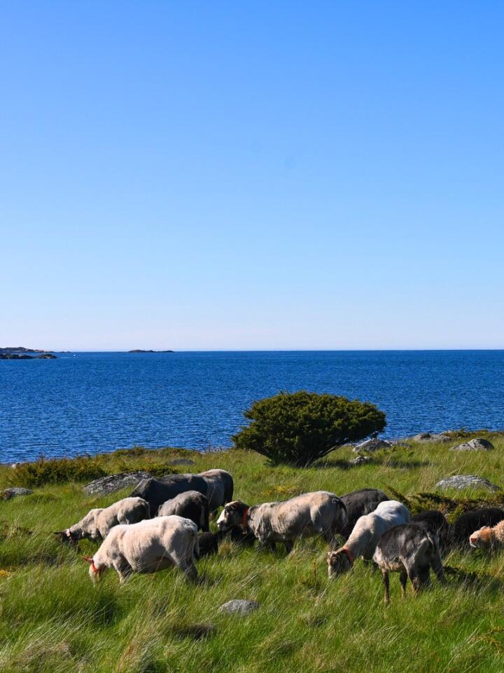 Sauene slippes i mai og hentes inn i oktober. Lammene hentes noe tidligere.