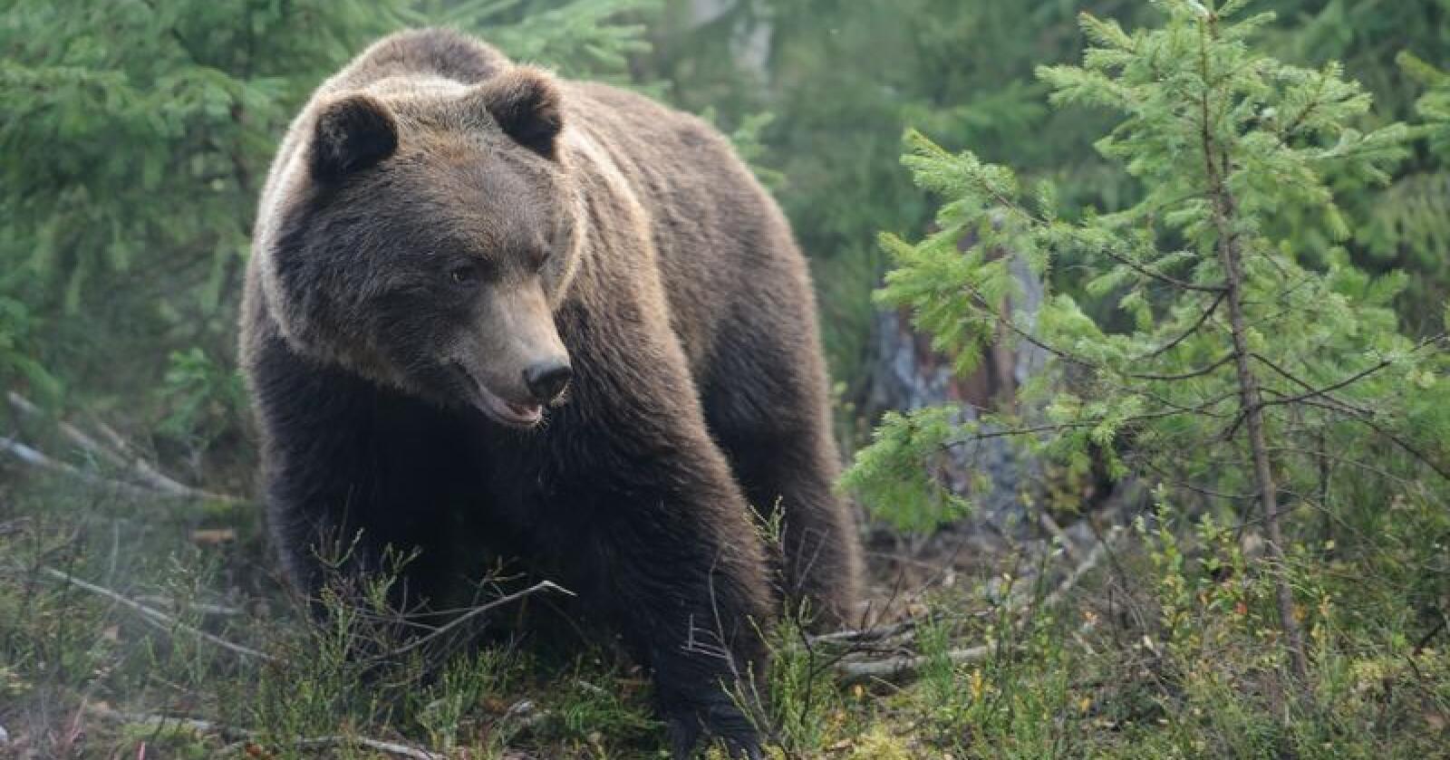 I 2019 ble det påvist minst 148 brunbjørner i Norge ved hjelp av DNA-analyser. Det er 7 prosent mer enn året før.  På bildet sees brunbjørn fotografert i Finland. Foto: Volodymyr Burdyak, Colourbox