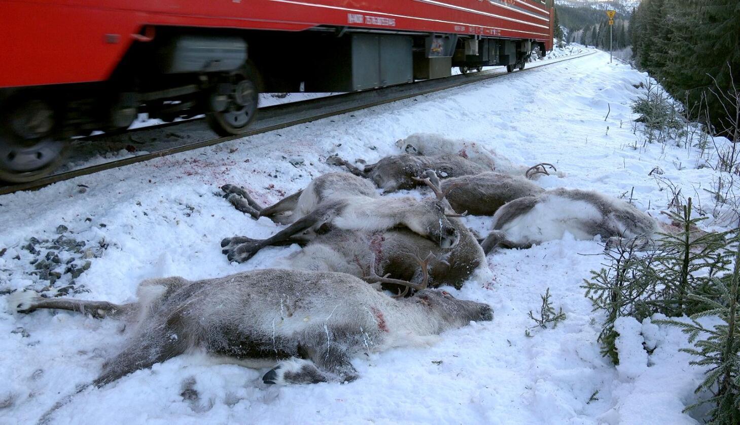 Påkjørt: Reinsdyr har blitt påkjørt av toget langs Nordlandsbanen. Foto: John Erling Utsi