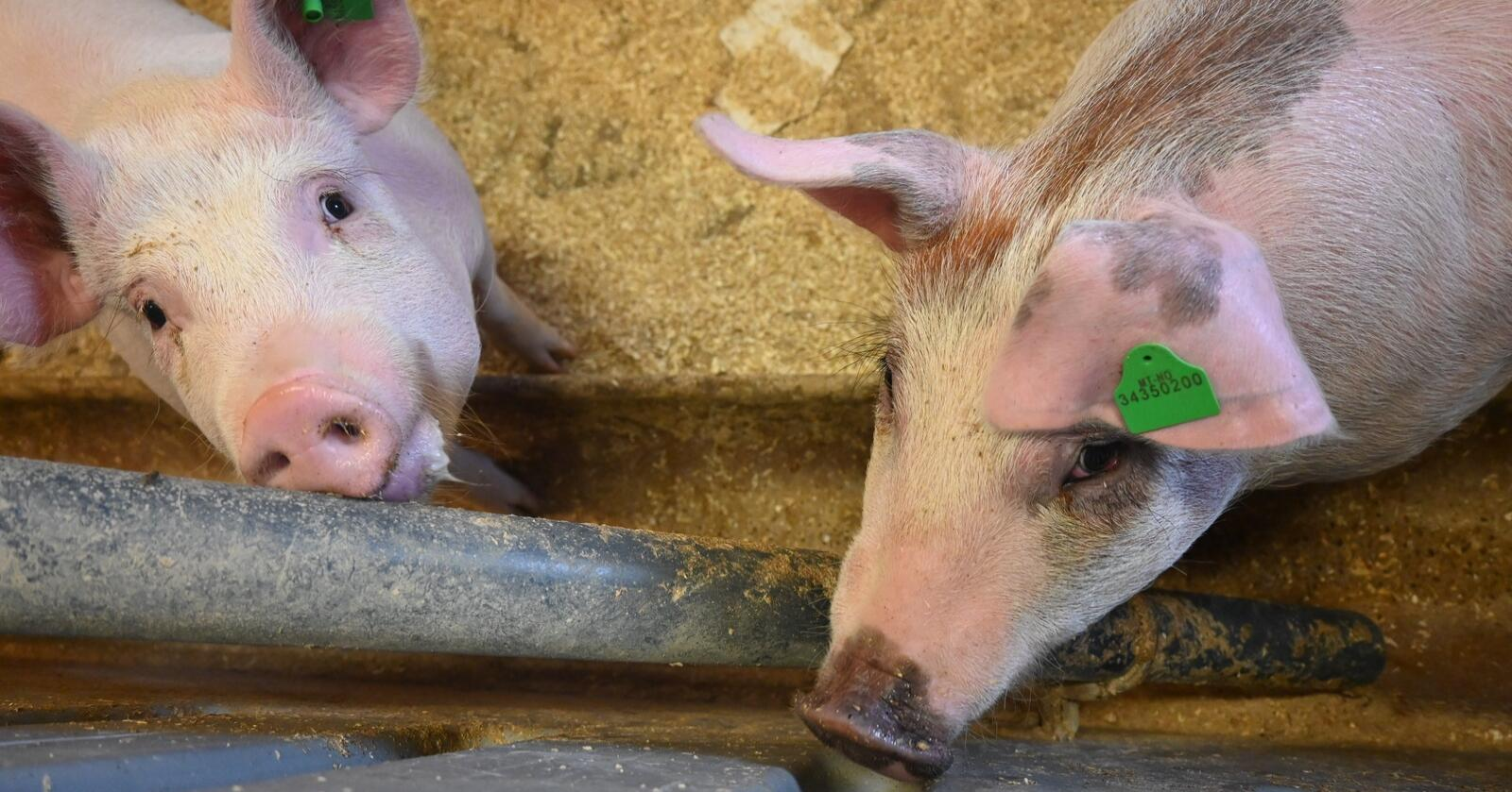Markedsregulering: I 2018 frøs Nortura inn 3800 tonn svinekjøtt på 12 uker. Nå foreslår regjeringa ei maksgrense på 3000 tonn på et år. (Foto: Marit Glærum)