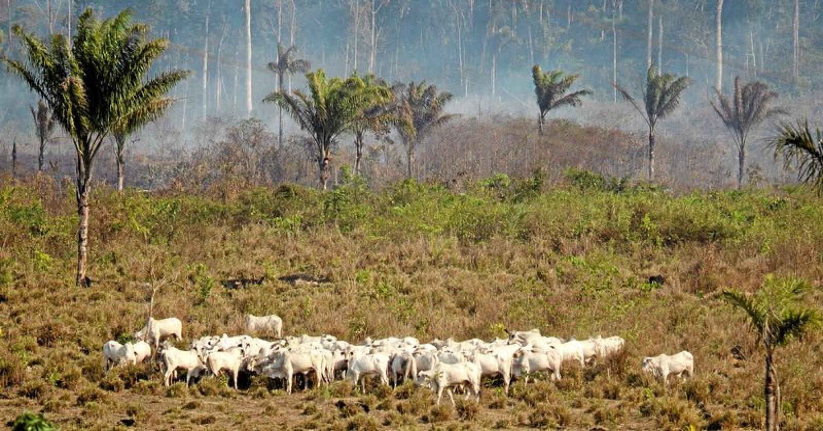 Økt import av kjøtt fra kyr i Brasil kan gi økte klimautslipp. Foto: AP Photo / Leo Correa / NTB Scanpix
