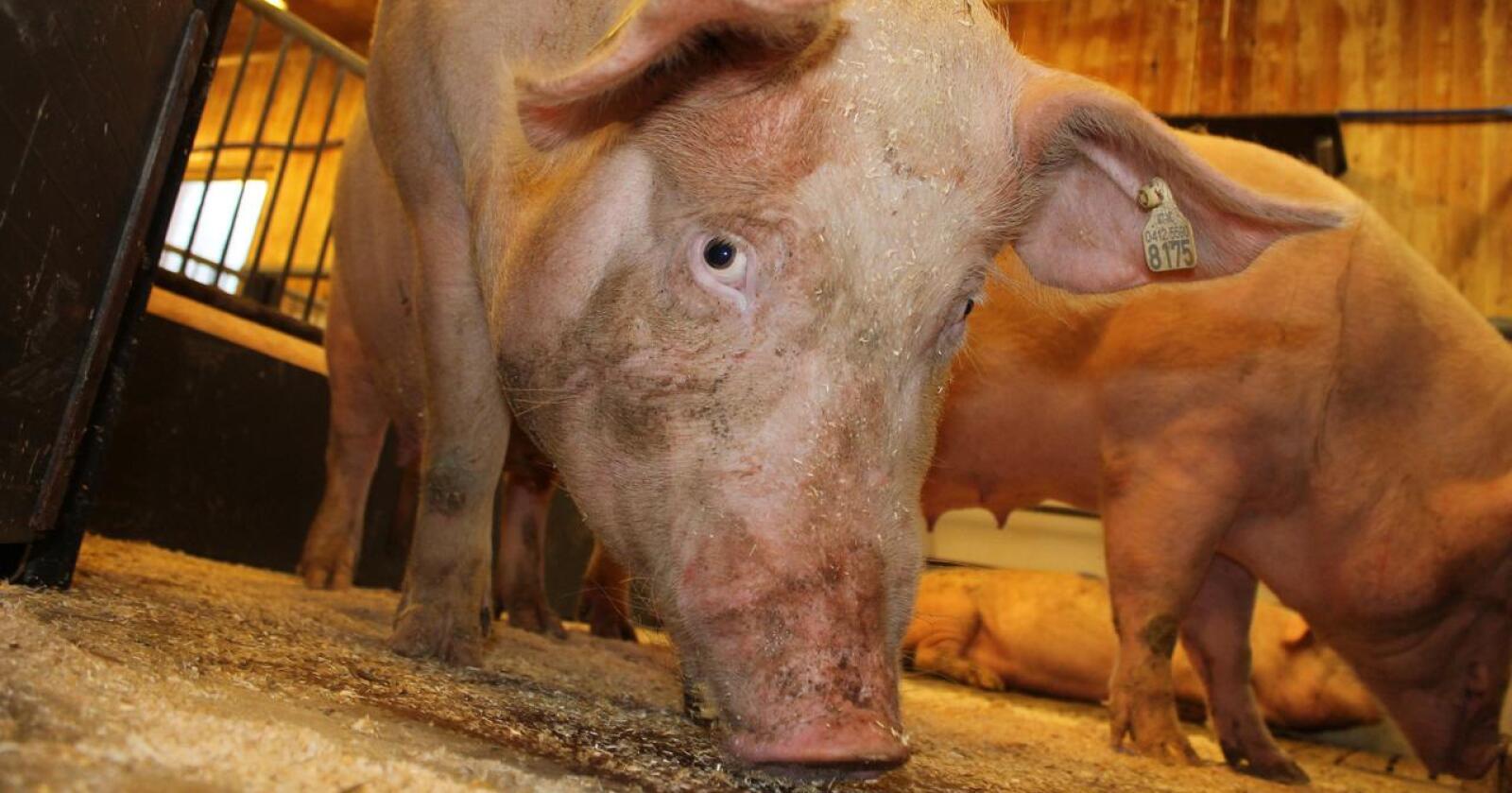 Som svinebonde er jeg glad for at mange bryr seg om hvordan dyra har det, skriver svinebonde Solveig Utvik i Vestvågøy. (Foto: Marit Glærum)