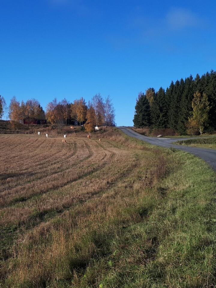 TRAFIKK: Atle har prøvd hvordan det fungerer å gjerde med Nofence opp mot trafikkerte veier. Han satt Nofence-grensa cirka 30 meter fra veien.
