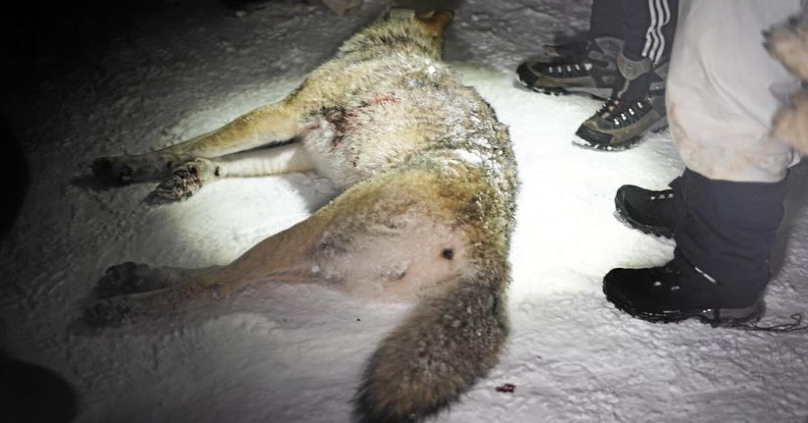 Ulvejakt: Denne ulven ble skutt i Rendalen i Hedmark januar 2018.Ulv skutt 3. Foto: Benjamin Hernes Vogl