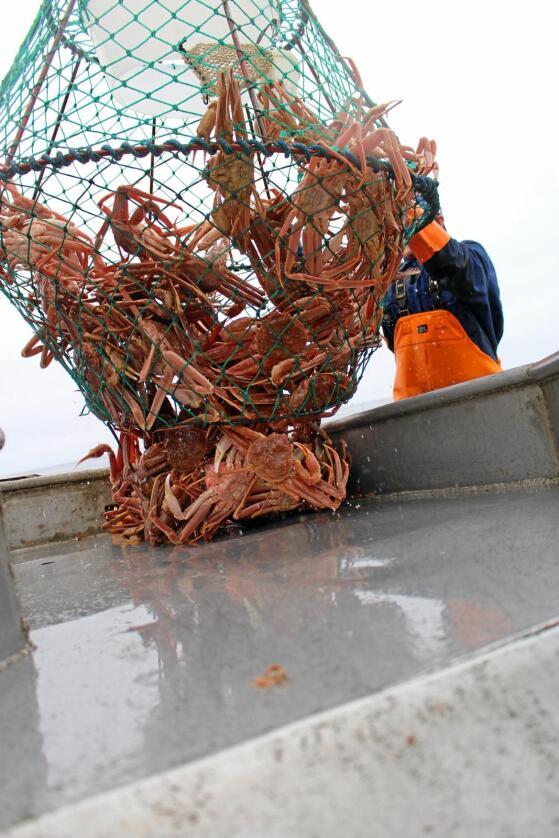 Liten krabbe kan få stor betydning: Snøkrabben, som no spreier seg utover heile Barentshavet, inkludert rundt Svalbard, kan no skape problem i forholdet mellom Noreg og EU. Foto: Leonore Olsen, SINTEF