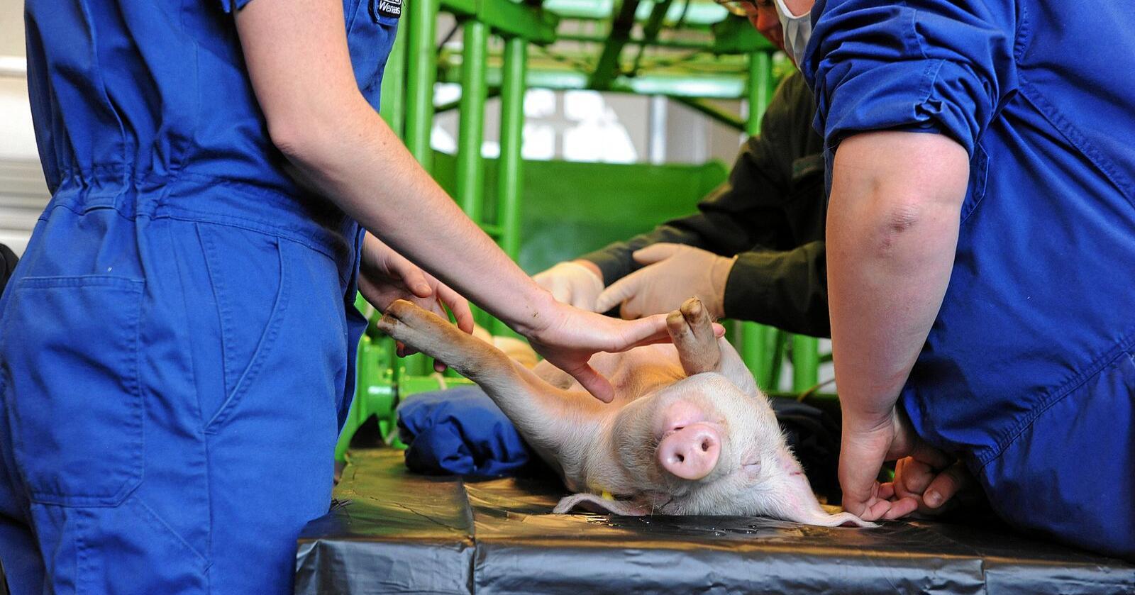 Elever er i gang med opperasjon på griser ved veterinærhøgskolen. Foto: Siri Juell Rasmussen