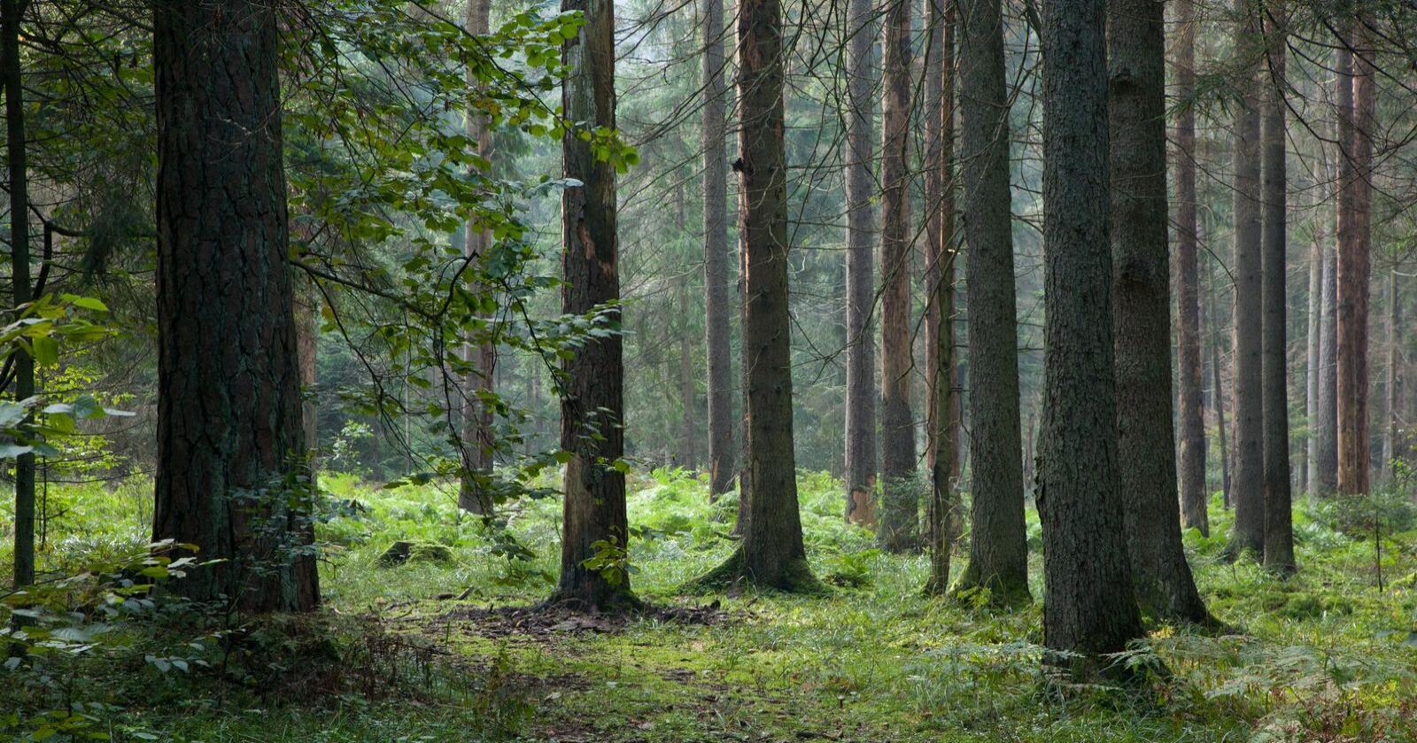Forsterka rolle: Gjennom kommunereformen fikk kommunene en forsterka rolle som skogmyndighet. For skogbruket og skognæringa er det viktig at kommunene fyller rollen sin på en god måte, skriver innsenderne. Foto: Mostphotos