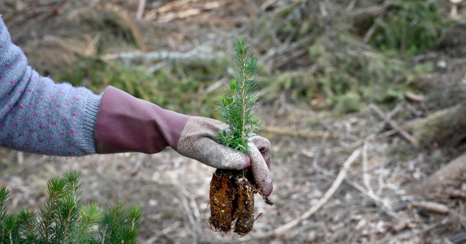 Regjeringen innrømmer at mindre penger til tiltak som skogplanting kan føre til redusert opptak av CO2. Foto: Mariann Tvete