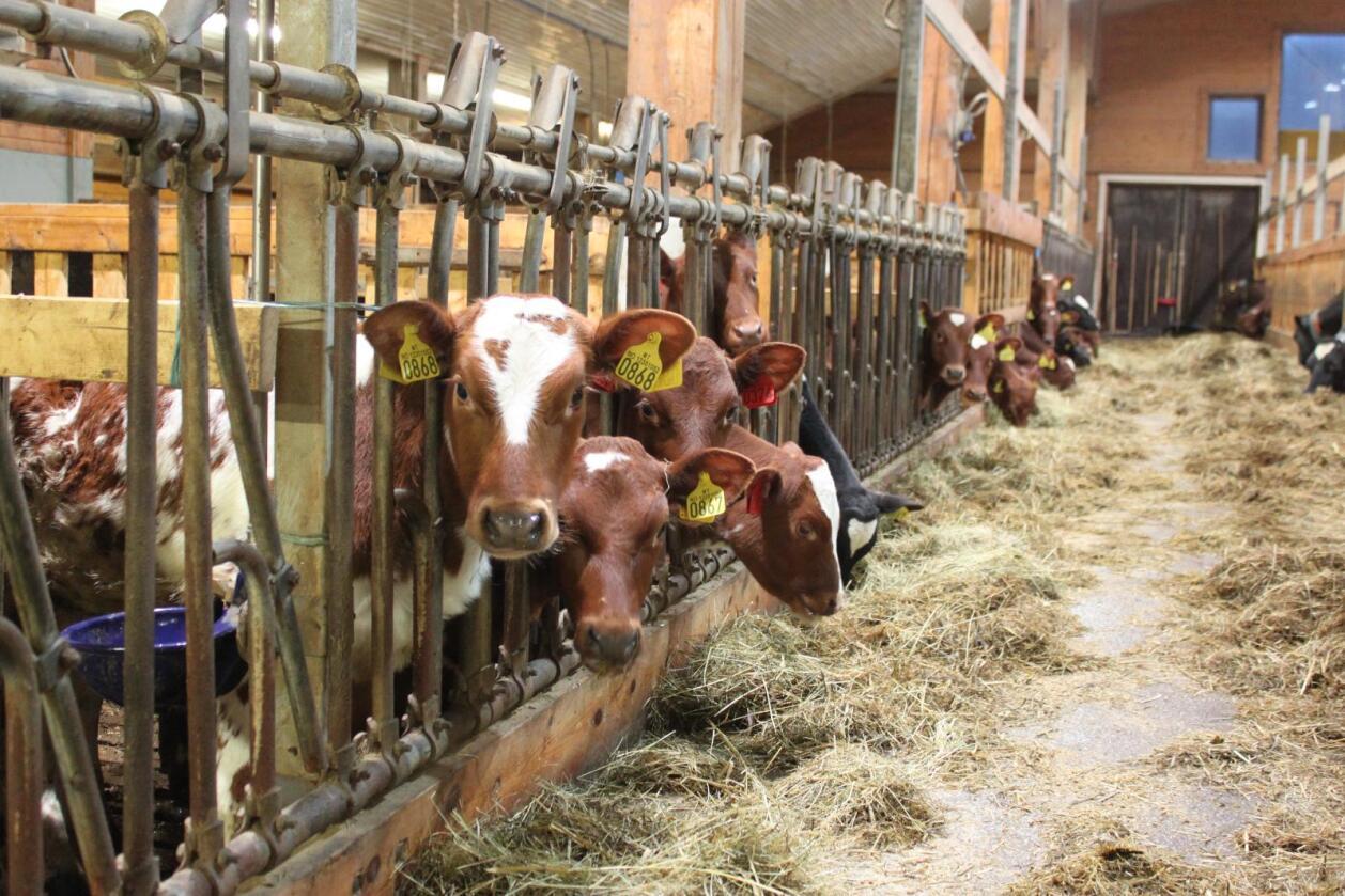 I nesten to tredeler av dyreholdene var det ingen regelbrudd. Kalvene fikk nok råmelk, fôr og vann, og de fikk godt nok stell. I 31 prosent av besetningene hadde ikke alle kalvene en lun, myk og varm liggeplass. (Illustrasjonsfoto: Camilla Mellemstrand)