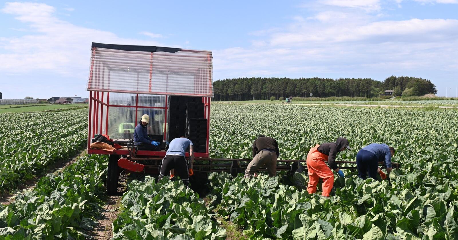 Blomkålhøsting hos Jone Wiig på Jæren. (Foto: Marie Hatlevoll)