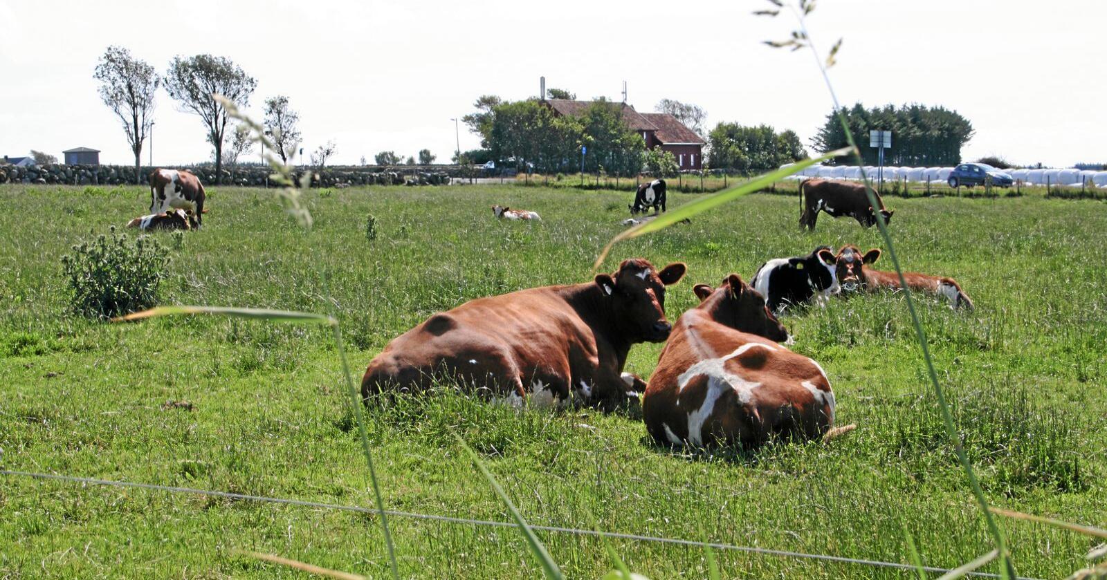 Mjølkebehov: Det er særleg behov for meir mjølk midt på sommaren i år, ifølgje Tine, som ber norske bønder om å halde produksjonen oppe gjennom sommaren slik at Tine klarer dekke etterspørselen etter mjølk og ost. Foto: Bjarne Bekkeheien Aase