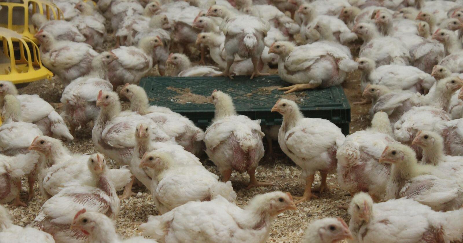 Ross 308 spiser rundt 0,5 kilo mindre fôr for å nå slaktevekta enn hva Hubbard-kyllingen gjør.