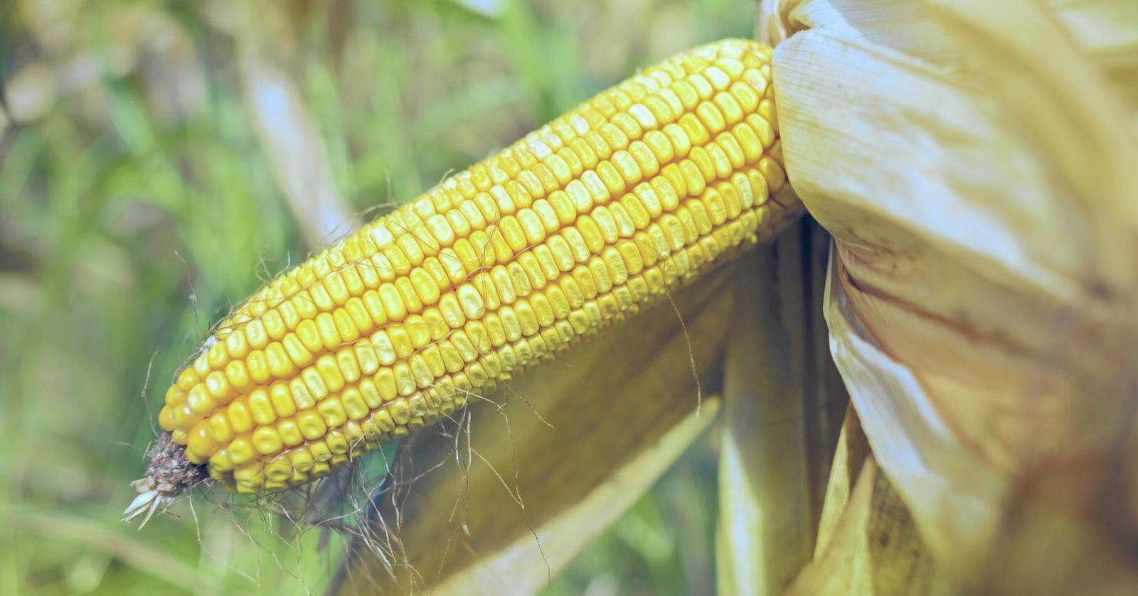 Nordmenn er fortsatt skeptisk til GMO, men enkelte mener det er nødvendig. Foto: Igor Stevanovic / Mostphotos