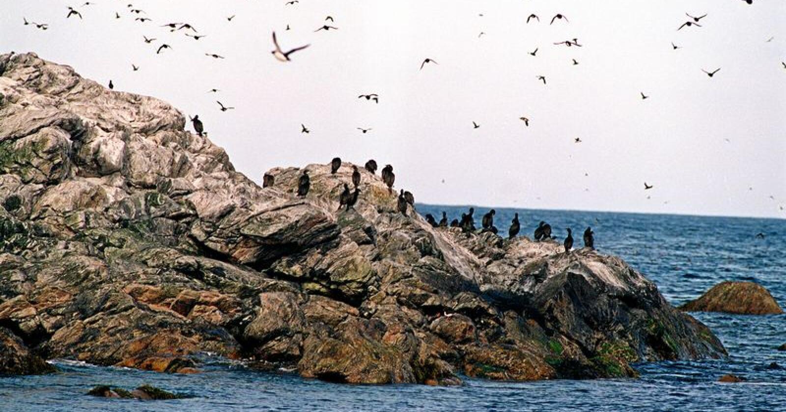 Færre: De ti siste årene har tilbakegangen for kystnære sjøfugler vært på rundt 30 prosent. Foto: Lise Åserud/NTB scanpix