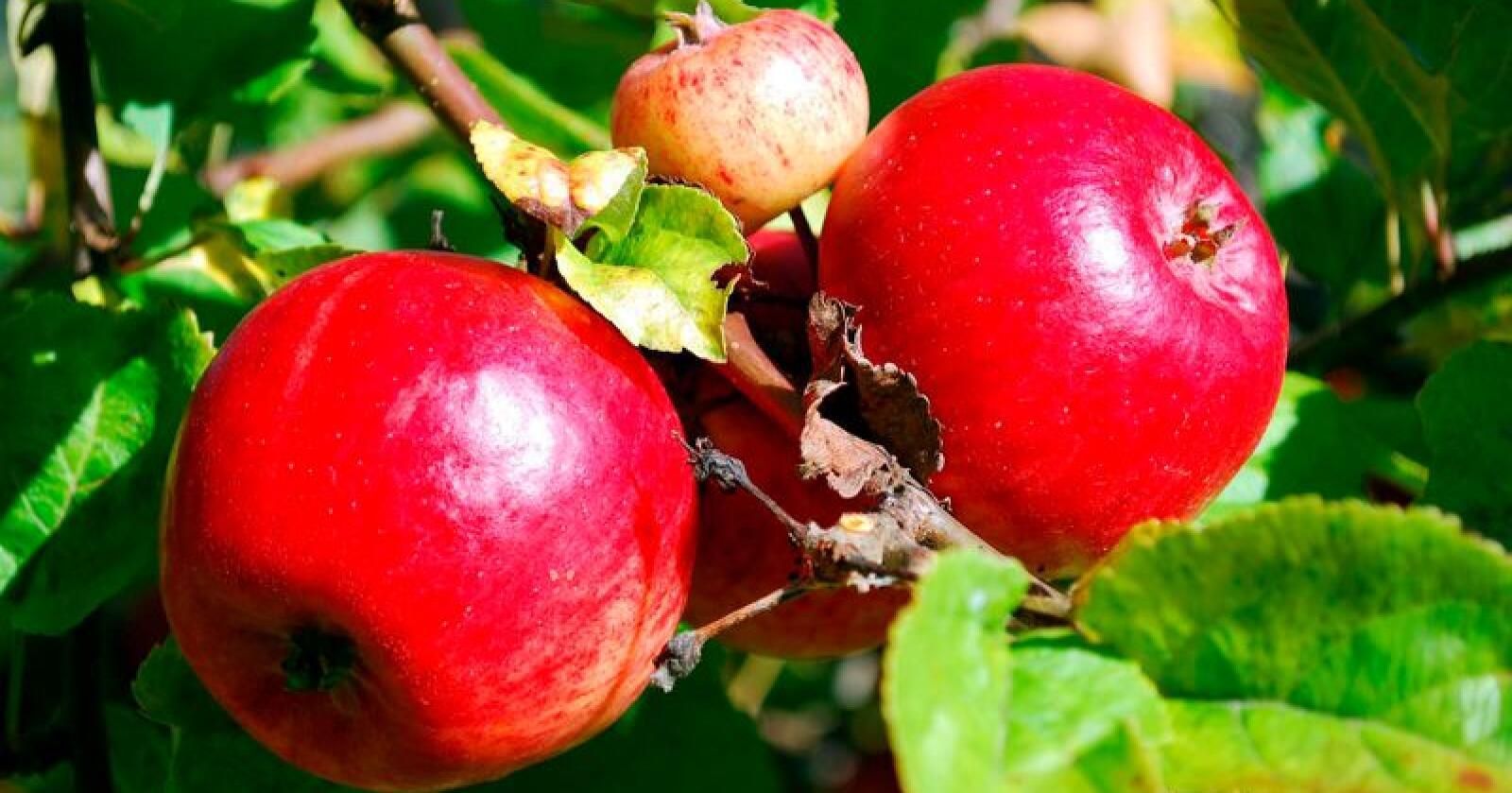 Hardanger siderprodusentlag har fått støtte til målretta produksjon av eple til sider og juice. Foto: Kari Hamre / NPK