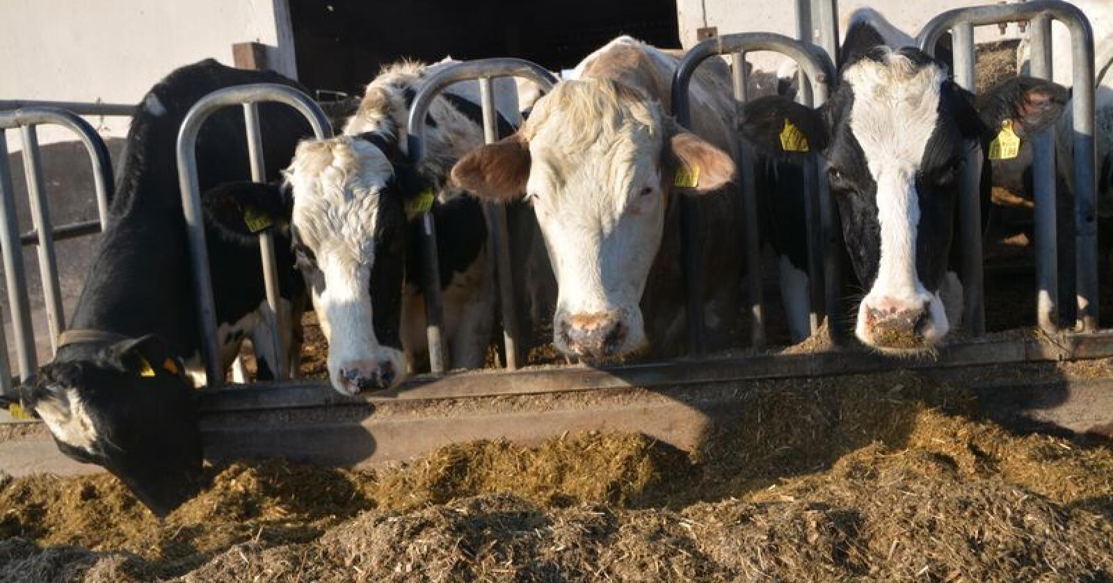 Antibiotikabruken i EU har gått kraftig ned de siste åra, men fortsatt er det store forskjeller mellom landene. Bildet viser melkekyr i Tyskland. – et land som per 2015 brukte 211 milligram antibiotika per kilo kjøtt, mot kun 4 milligram i Norge. Foto: Anders Sandbu
