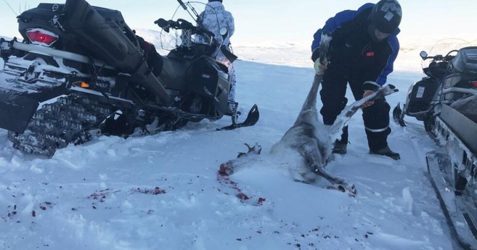 Katastrofe: Skrantesyke kan legge viltbestander i Norge øde. Derfor tas sykdomsnær rein ut. Foto: Sondre Dalaker/NRK