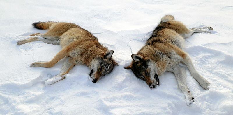 To ulver skutt i Rendalen i 2019. Foto: Statens Naturoppsyn