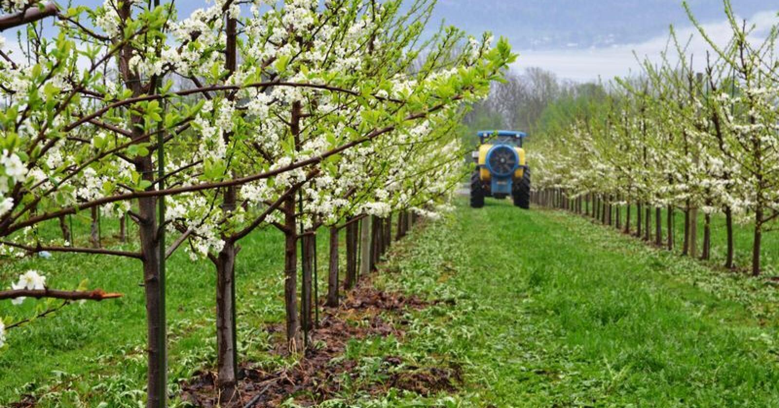 Minusgrader har ødelagt årets eplesesong for mange eplebønder. Bildet viser plommetrær i Svelvik. (Arkivfoto)
