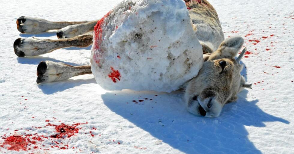 Etter funn av villrein i Skarvheimen med en 14 kilos isklump på GPS-senderen (bildet) vinteren 2016, lovte NINA å sette i verk flere tiltak. Dyrevernalliansen konstaterer at tiltakene ikke har fungert. Foto: Jan Eira