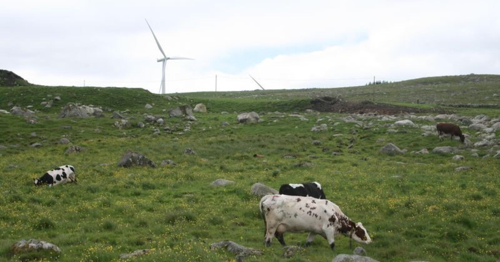Arkivfoto av kyr og storfe på beite på Undheim i Time kommune på Jæren. Foto: Bjarne Bekkeheien Aase
