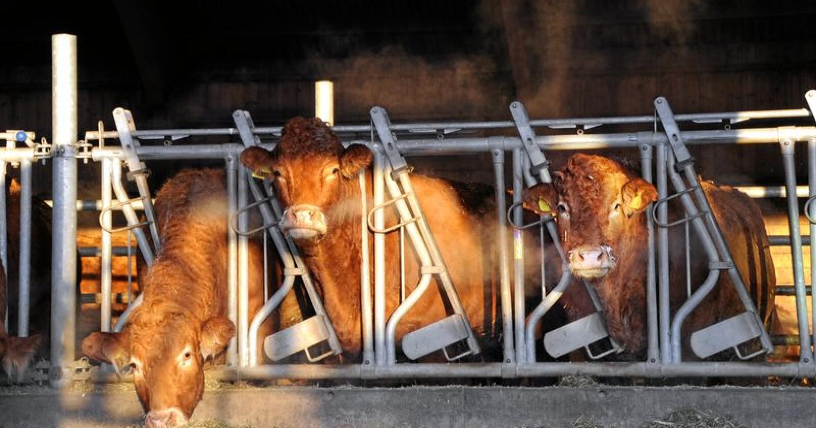 Ammekyr: Bidrar til store klimagassutslipp. Foto: Mariann Tvete