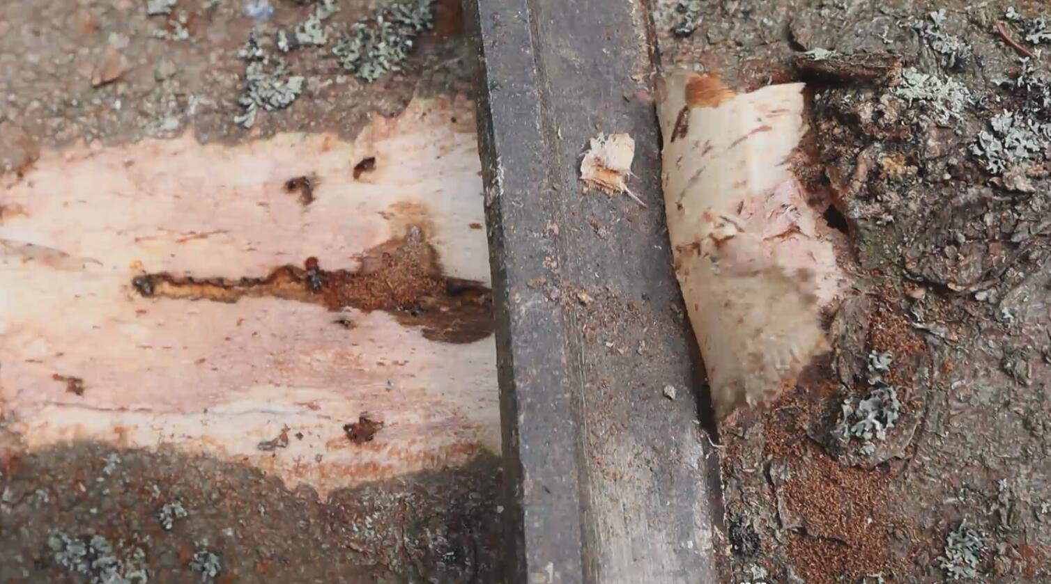 Bildet viser hvordan man bruker kniv for å skave av bark for å se etter gangsystemer av stor granbarkbille. Foto: Paal Krokene og Isabella Børja